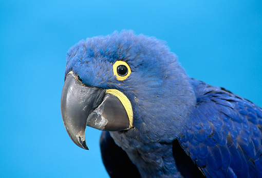 BRD 01 TK0002 01 © Kimball Stock Head Shot Of Hyacinth Macaw Blue Background Studio