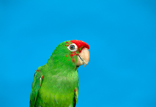 BRD 01 TK0003 01 © Kimball Stock Close-Up Of Red-Masked Conure Blue Background Studio