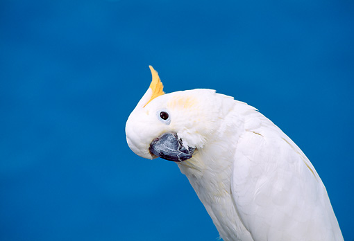 BRD 01 TK0004 01 © Kimball Stock Close-Up Of Sulphur-Crested Cockatoo Blue Background Studio
