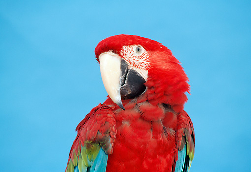 BRD 01 TK0005 01 © Kimball Stock Shoulder Shot Of Red-And-Green Macaw Blue Background Studio
