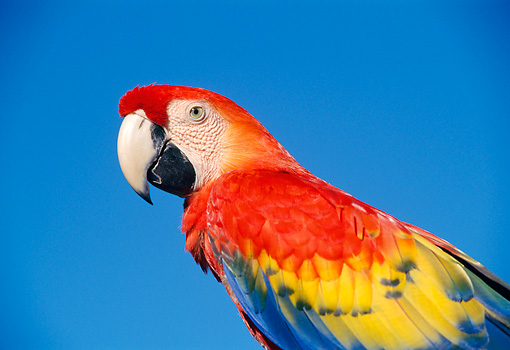 BRD 01 TK0006 01 © Kimball Stock Close-Up Of Scarlet Macaw Blue Background Studio