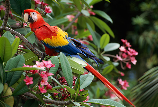BRD 01 TL0001 01 © Kimball Stock Scarlet Macaw Sitting In Bushes Central America