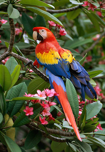 BRD 01 TL0002 01 © Kimball Stock Scarlet Macaw Sitting In Bushes Central America