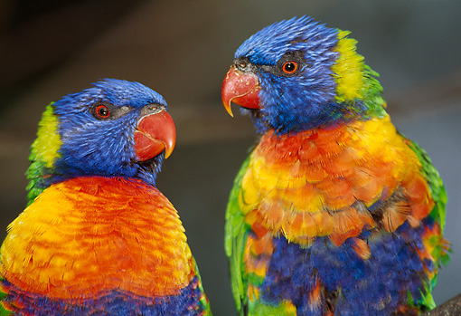 BRD 01 TL0004 01 © Kimball Stock Two Rainbow Lorikeets