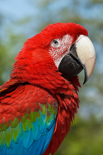 BRD 01 TL0006 01 © Kimball Stock Profile Shoulder Shot Of Green-Winged Macaw