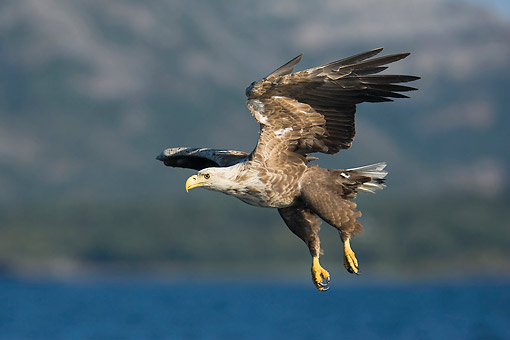 BRD 02 AC0012 01 © Kimball Stock White-Tailed Sea Eagle Flying In Norway