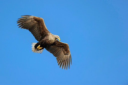 BRD 02 AC0014 01 © Kimball Stock White-Tailed Eagle (Also Called Sea Eagle, Erne, Or White-Tailed Sea Eagle) Soaring Through Sky