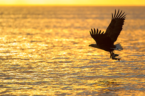 BRD 02 AC0016 01 © Kimball Stock White-Tailed Eagle (Also Called Sea Eagle, Erne, Or White-Tailed Sea Eagle) Catching Fish At Sunset