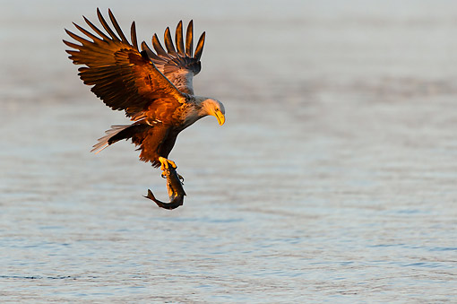 BRD 02 AC0017 01 © Kimball Stock White-Tailed Eagle (Also Called Sea Eagle, Erne, Or White-Tailed Sea Eagle) Catching Fish At Sunset