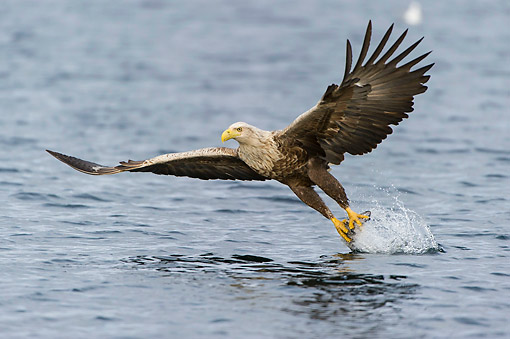 BRD 02 AC0020 01 © Kimball Stock White-Tailed Eagle (Also Called Sea Eagle, Erne, Or White-Tailed Sea Eagle) Plucking Fish From The Sea