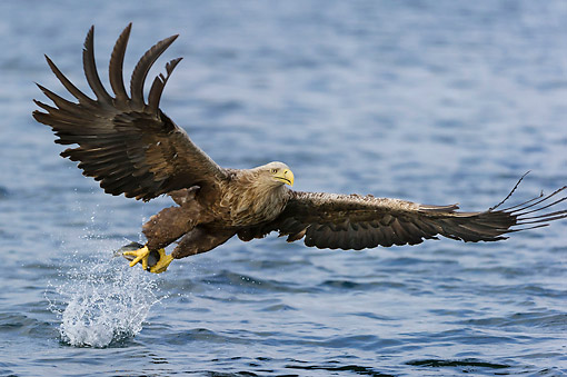 BRD 02 AC0021 01 © Kimball Stock White-Tailed Eagle (Also Called Sea Eagle, Erne, Or White-Tailed Sea Eagle) Plucking Fish From The Sea