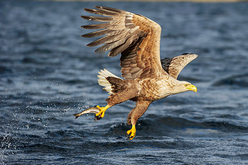 BRD 02 AC0022 01 © Kimball Stock White-Tailed Eagle (Also Called Sea Eagle, Erne, Or White-Tailed Sea Eagle) Plucking Fish From The Sea