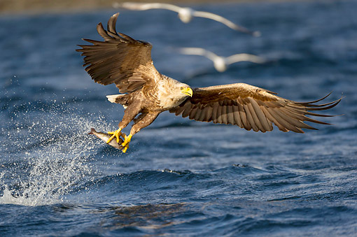 BRD 02 AC0023 01 © Kimball Stock White-Tailed Eagle (Also Called Sea Eagle, Erne, Or White-Tailed Sea Eagle) Plucking Fish From The Sea