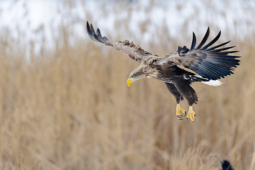 BRD 02 AC0025 01 © Kimball Stock White-Tailed Eagle (Also Called Sea Eagle, Erne, Or White-Tailed Sea Eagle) Swooping In