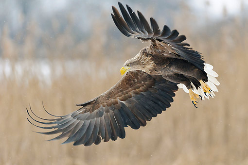 BRD 02 AC0026 01 © Kimball Stock White-Tailed Eagle (Also Called Sea Eagle, Erne, Or White-Tailed Sea Eagle) Swooping In