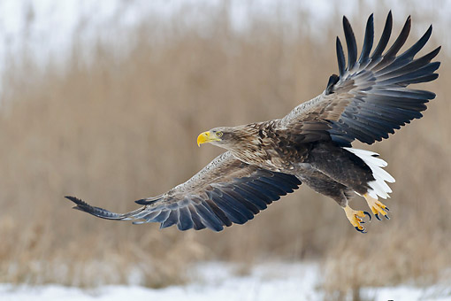 BRD 02 AC0027 01 © Kimball Stock White-Tailed Eagle (Also Called Sea Eagle, Erne, Or White-Tailed Sea Eagle) Flying