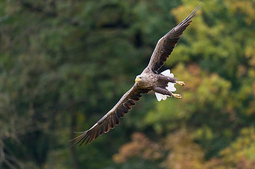 BRD 02 AC0030 01 © Kimball Stock White-Tailed Eagle (Also Called Sea Eagle Or Erne) Flying
