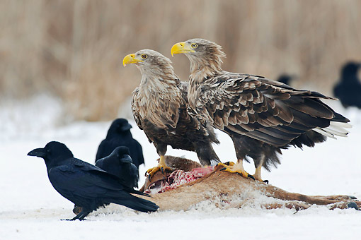 BRD 02 AC0032 01 © Kimball Stock White-Tailed Sea Eagles And Ravens Eating Carcus In Snow