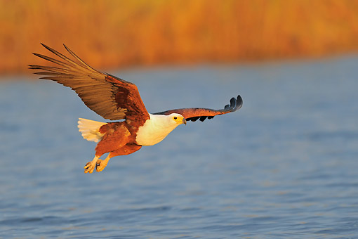 BRD 02 AC0034 01 © Kimball Stock African Fish Eagle Flying Over Chobe River, Chobe River National Park, Botswana