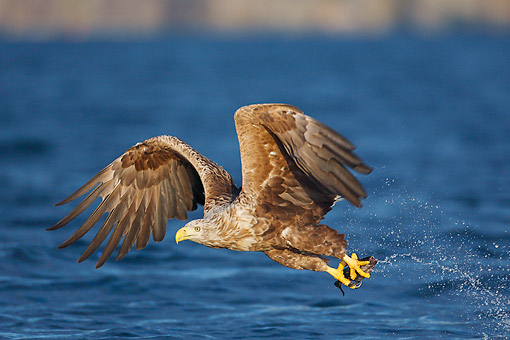 BRD 02 AC0035 01 © Kimball Stock White-Tailed Sea Eagle Diving For Fish