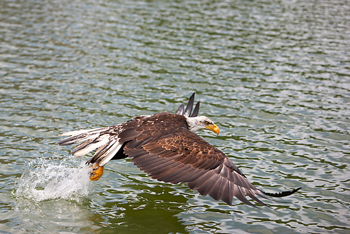 BRD 02 GL0002 01 © Kimball Stock Young Bald Eagle Fishing In Lake