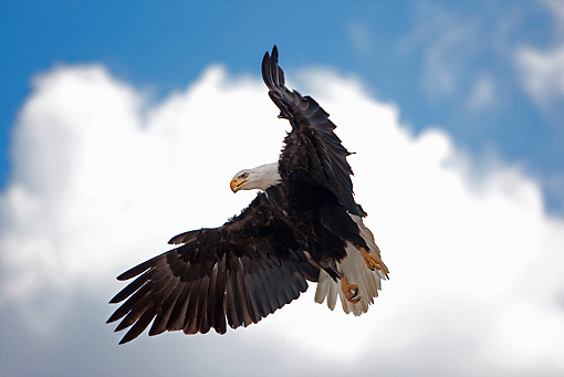 BRD 02 GL0006 01 © Kimball Stock Portrait Of Bald Eagle In Flight