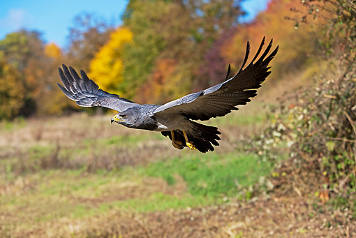 BRD 02 GL0007 01 © Kimball Stock Black-Chested Buzzard Eagle In Flight