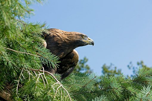 BRD 02 GL0011 01 © Kimball Stock Close-Up Of Golden Eagle Perched In Tree France