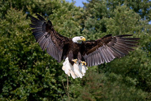BRD 02 GL0012 01 © Kimball Stock Bald Eagle In Flight