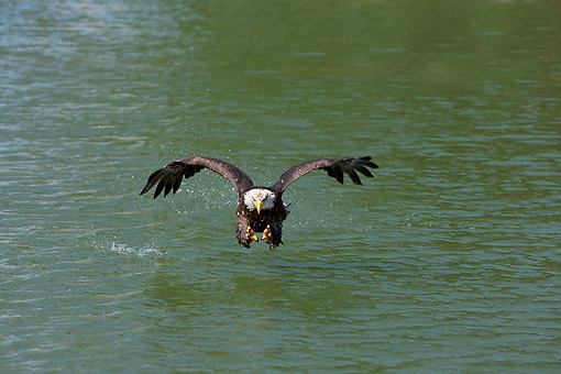 BRD 02 GL0015 01 © Kimball Stock Bald Eagle Diving For Prey In Water