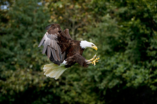BRD 02 GL0017 01 © Kimball Stock Bald Eagle Striking