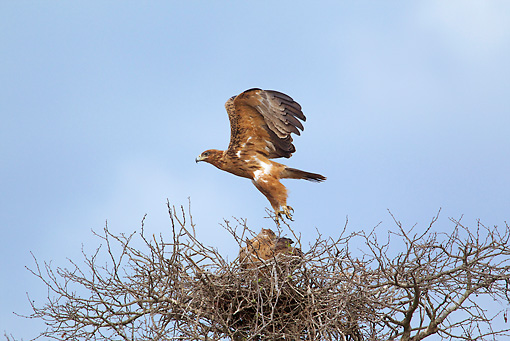 BRD 02 HP0001 01 © Kimball Stock Tawny Eagle Nesting Kruger National Park, South Africa