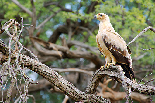BRD 02 HP0002 01 © Kimball Stock Tawny Eagle Perched On Tree Branch