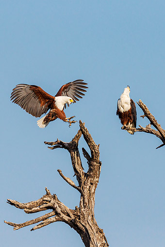 BRD 02 KH0010 01 © Kimball Stock African Fish Eagles Perching On Trees In Chobe National Park, Botswana