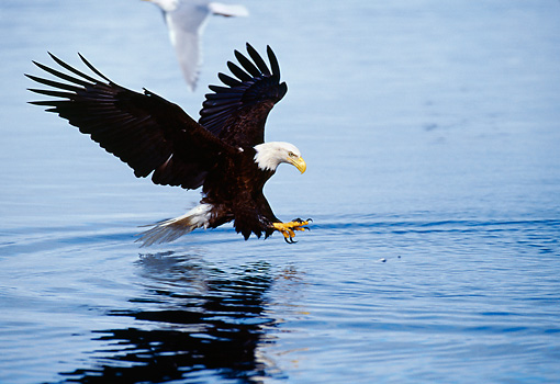BRD 02 MC0002 01 © Kimball Stock Portrait Of Bald Eagle Swooping In To Catch Fish Alaska