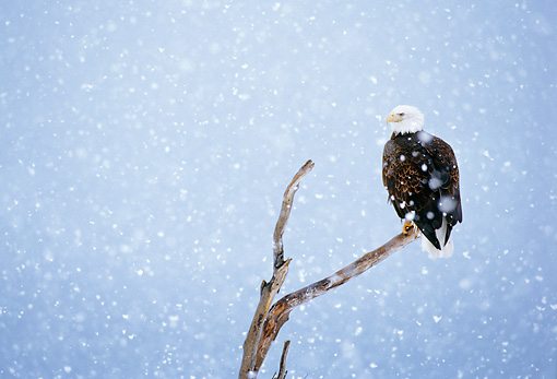 BRD 02 MC0004 01 © Kimball Stock Portrait Of Bald Eagle Perched On Tree Branch In Snowfall Alaska
