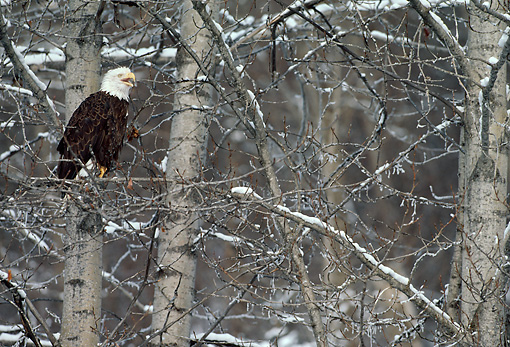 BRD 02 MC0006 01 © Kimball Stock Bald Eagle Perched On Tree Branch Calling In Snowfall Alaska