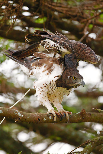 BRD 02 MC0010 01 © Kimball Stock Martial Eagle Perched In Tree With Wings Spread Tanzania