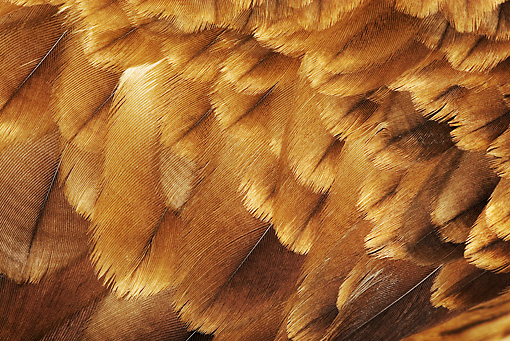 BRD 02 MH0002 01 © Kimball Stock Close Up Of Wahlberg's Eagle Feathers