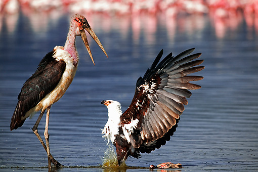 BRD 02 MH0003 01 © Kimball Stock African Fish Eagle Fighting With Marabau Stork