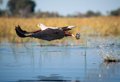 BRD 02 MH0005 01 © Kimball Stock African Fish Eagle Skimming Water Hunting For Fish