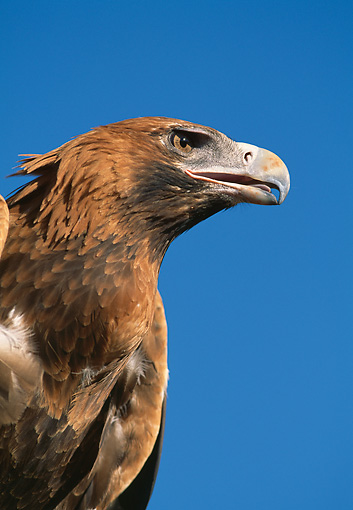 BRD 02 MH0006 01 © Kimball Stock Portrait Of Young Wedge-Tailed Eagle Against Blue Sky