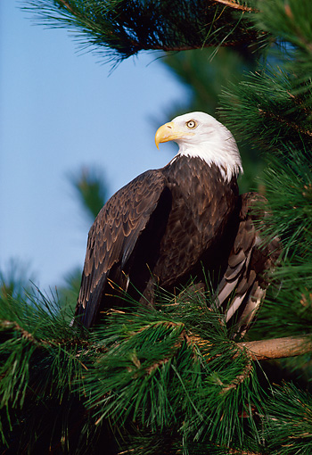 BRD 02 RK0065 24 © Kimball Stock Bald Eagle Sitting In Pine Tree
