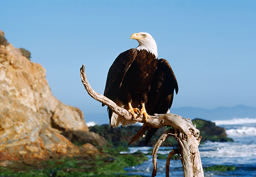 BRD 02 RK0082 04 © Kimball Stock Bald Eagle Sitting On Branch Ocean Background