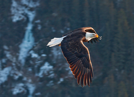 BRD 02 RW0010 01 © Kimball Stock Bald Eagle Flying