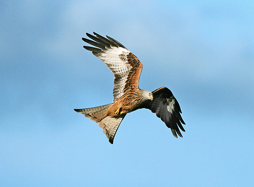 BRD 02 WF0001 01 © Kimball Stock Red Kite Flying In Stormy Sky
