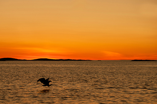 BRD 02 WF0005 01 © Kimball Stock Silhouette Of White-Tailed Eagle Catching Fish At Sunset