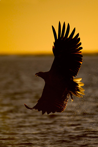 BRD 02 WF0006 01 © Kimball Stock White-Tailed Eagle Flying Over Water With Fish In Talons At Sunset