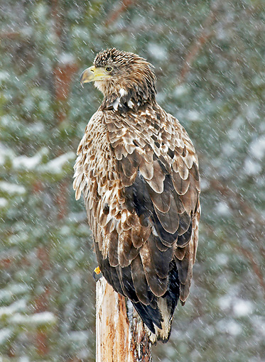 BRD 02 WF0010 01 © Kimball Stock Back View Of White-Tailed Eagle Sitting On Wooden Post In Snow
