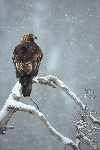 BRD 02 WF0017 01 © Kimball Stock Back View Of Golden Eagle Perched On Tree Branch In Falling Snow